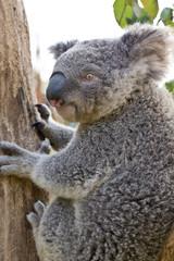 Australian Koala Bear holding onto a tree trunk
