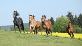 Fototapety Very various barch of horses running on pasturage