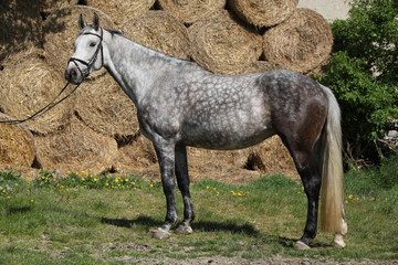 Amazing grey horse with bridle