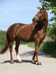 Nice brown horse with white star on head