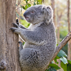 Australian Koala Bear holding onto a tree trunk