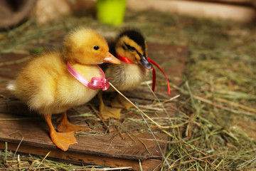 Little cute ducklings in barn