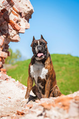 Boxer dog in the ruins