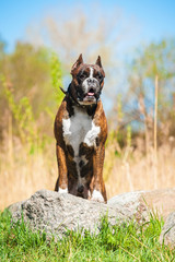 Boxer dog standing on the stone