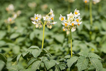 White flowers with yellow stamens of potato plants from close