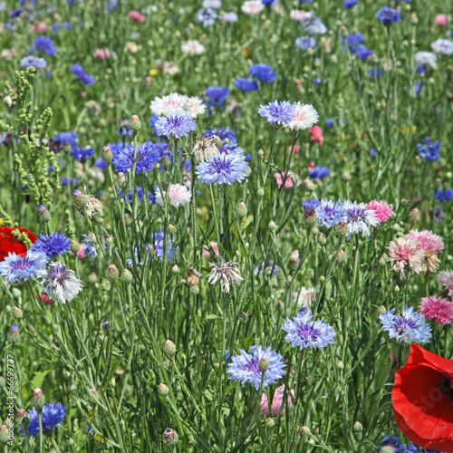 canvas print picture jachère fleurie