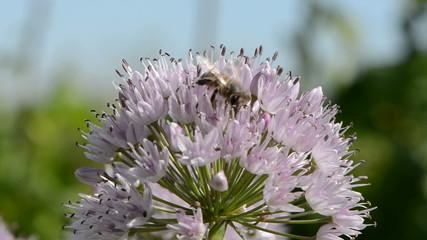 bee on onion blossom in summer garden