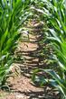 piante di mais su campo