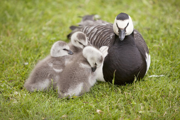 three young geese and mother