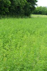 campo di erba medica_foraggio