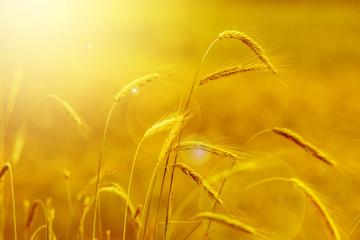 yellow grain in the sunset