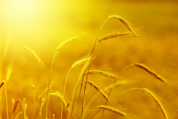 yellow grain at sunset with lens flare