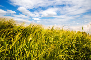 Golden wheat field with blue sky and clouds :)