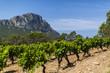 vigne - 66705150