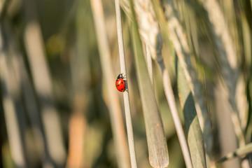 Ladybug climbing up a grass stalk