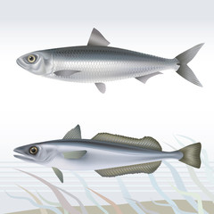 Fish: sardine and hake. Vector illustration.