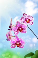 Pink spotted orchids on natural background