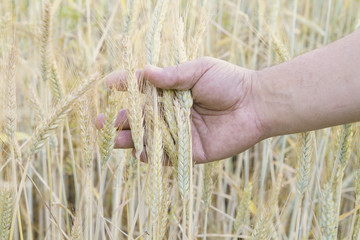 wheat in the men s hand
