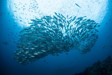Schooling Fish 4