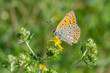 Common Blue butterfly on a wild flower