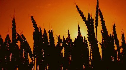 Wheat ears silhouettes in agricultural cultivated wheat field.