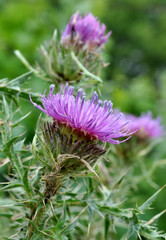 Detailed view of a purple thistle in bloom