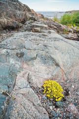 Yellow Stonecrop or Sedum at coastline