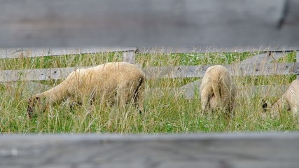 Sheep in the corral, grazing on green meadow