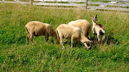 Sheep and goat grazing on a green meadow