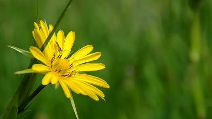 Yellow meadow flowers in the wind, (Tragopogon pratensis)