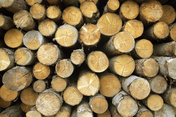 Many pine logs stacked closeup frony view