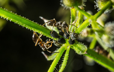 Ants attacking blackfly Aphids