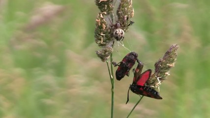 Burnet Moth Caught In Orb Spider Web