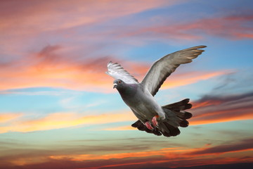 pigeon flying over beautiful sunset sky
