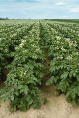 Champ de pomme de terre en fleur