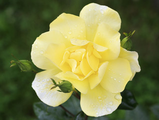 Beautiful yellow rose on a background of green leaves.