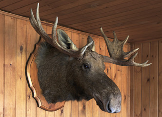 Stuffed moose head