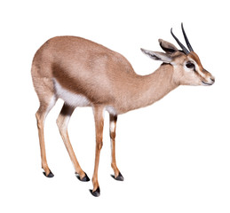 gazelle over white background