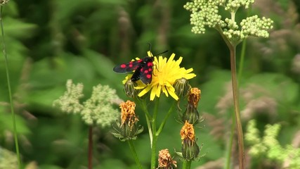 Burnet Moth Feeding On Yellow Flower