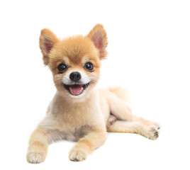 close up face of pomeranian puppy dog lying isolated white backg
