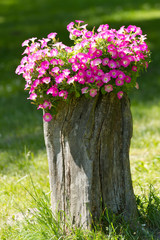 Petunia flowers grow on a stump