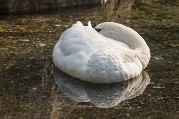 white swan sleeping on lake