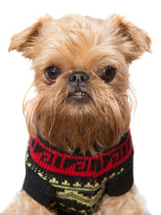 Brussels Griffon in a sweater