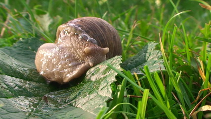 snail turns around and crawling on the grass