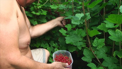 man rips red currants in the garden