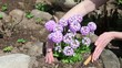female hands raise earth around  blossoming decorative on
