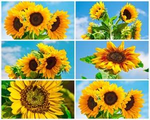 Sonnenblumen-Collage
