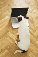 jack russell terrier dog working from home with laptop