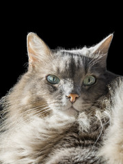 Angora Siberian male cat with odd eyes, black background