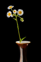 Little Daisies in Vase